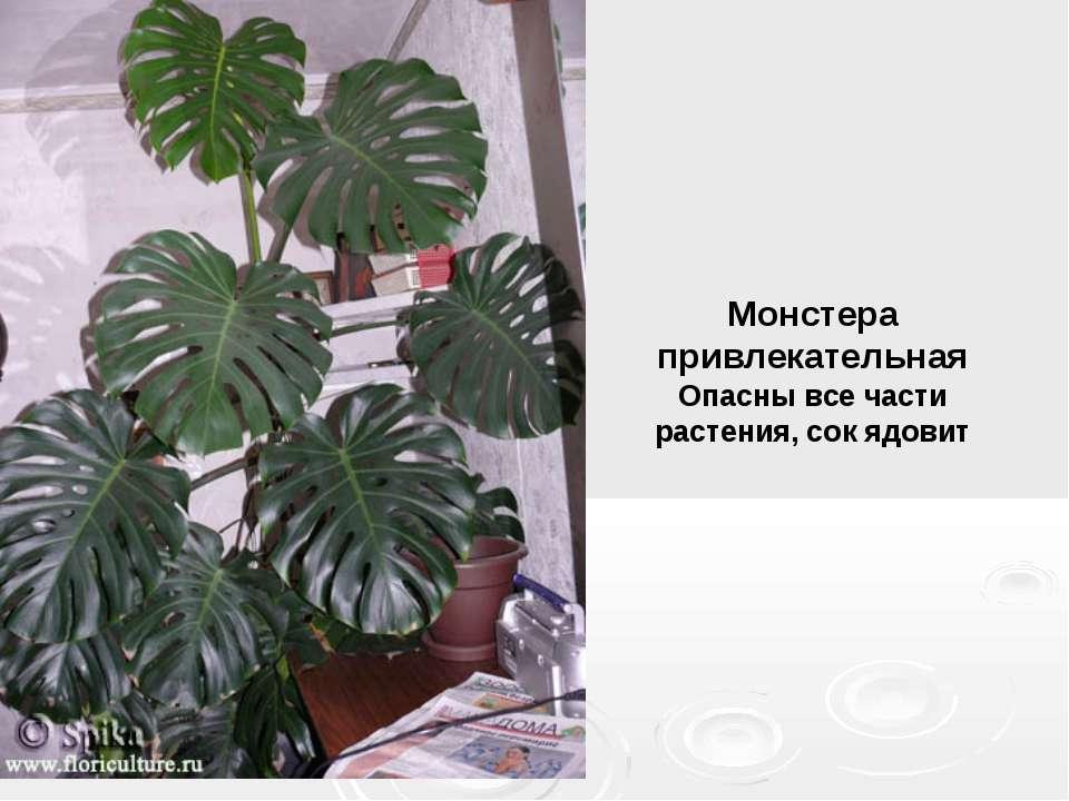 Монстера привлекательная Опасны все части растения, сок ядовит
