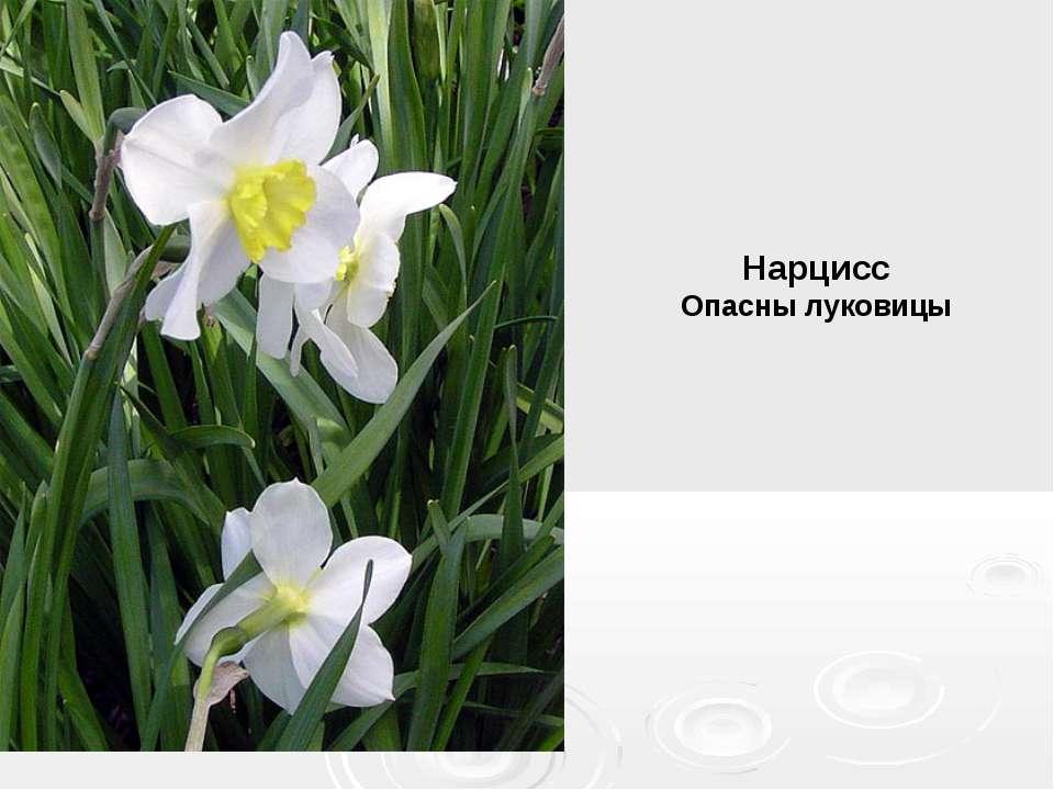 Нарцисс Опасны луковицы