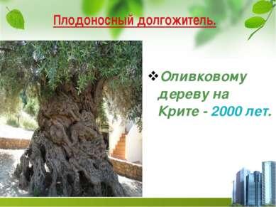 Плодоносный долгожитель. Оливковому дереву на Крите - 2000 лет.
