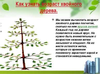 Как узнать возраст хвойного дерева. Мы можем вычислить возраст хвойного дерев...