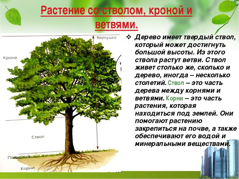 Растение со стволом, кроной и ветвями. Дерево имеет твердый ствол, который мо...