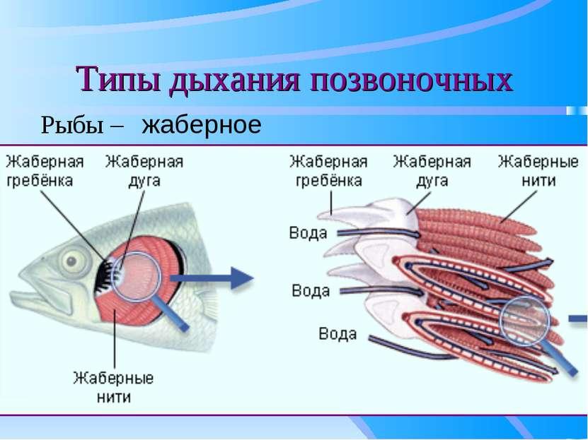 Типы дыхания позвоночных Рыбы – жаберное