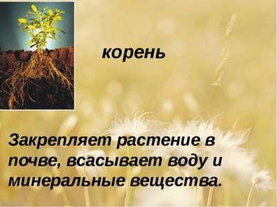 корень Закрепляет растение в почве, всасывает воду и минеральные вещества.