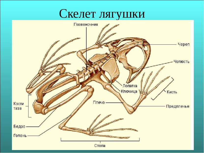Скелет лягушки