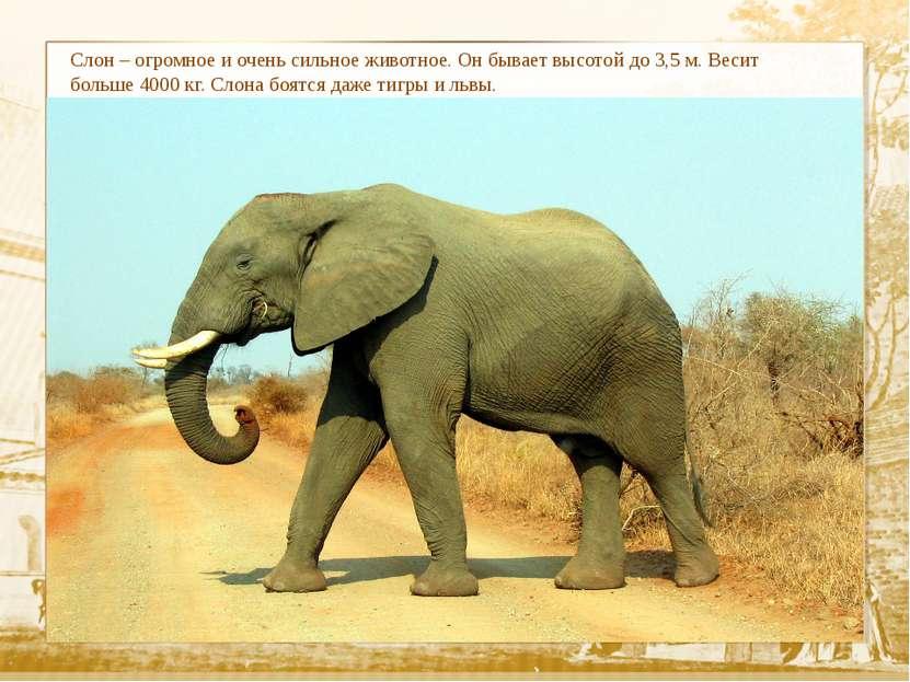 Слон – огромное и очень сильное животное. Он бывает высотой до 3,5 м. Весит б...