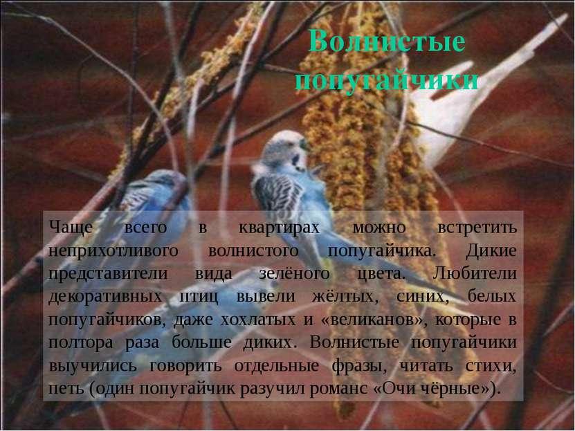 Чаще всего в квартирах можно встретить неприхотливого волнистого попугайчика....