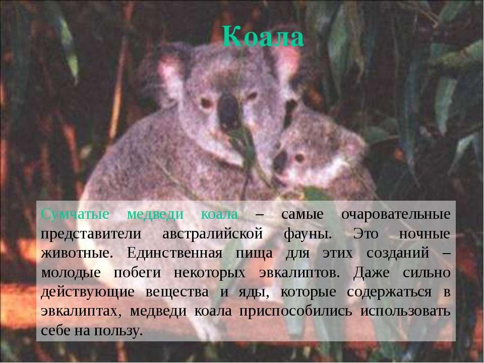 Сумчатые медведи коала – самые очаровательные представители австралийской фау...