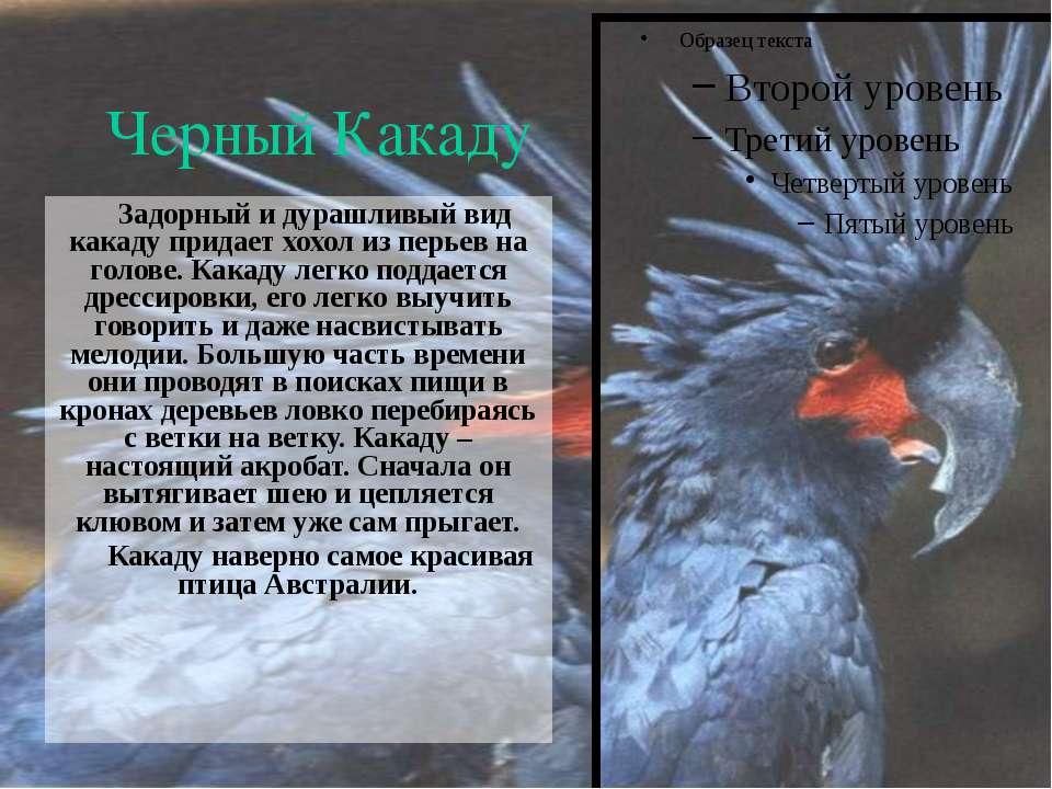 Черный Какаду Задорный и дурашливый вид какаду придает хохол из перьев на гол...