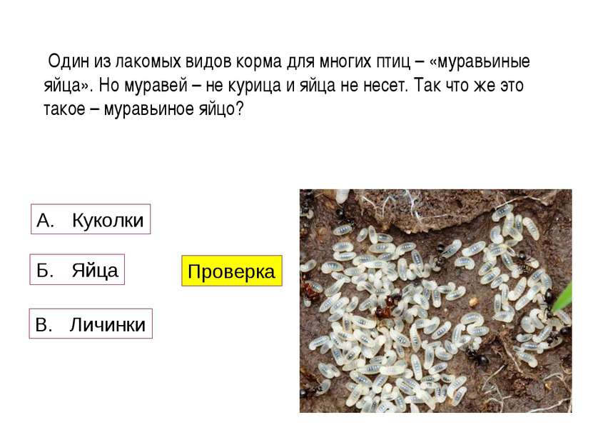 Один из лакомых видов корма для многих птиц – «муравьиные яйца». Но муравей –...