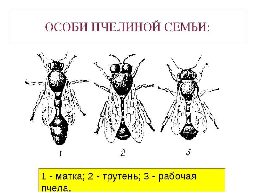 Картинки по запросу классификация пчел картинки