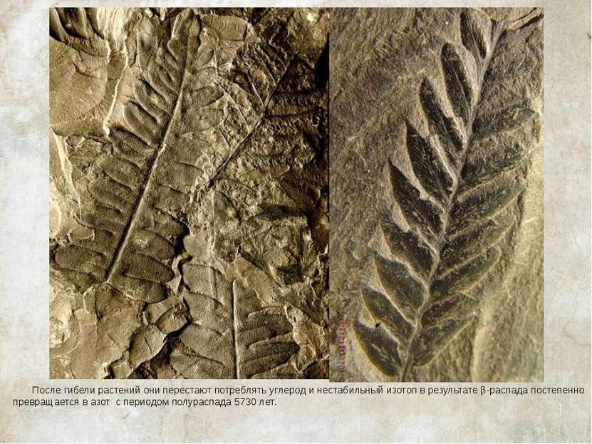 После гибели растений они перестают потреблять углерод и нестабильный изотоп ...