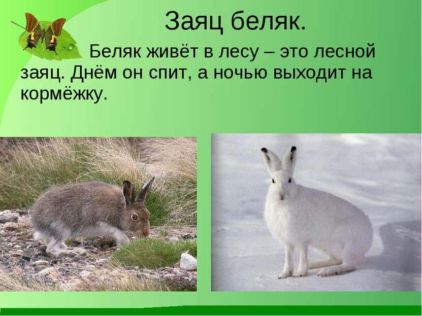 Заяц беляк. Беляк живёт в лесу – это лесной заяц. Днём он спит, а ночью выход...
