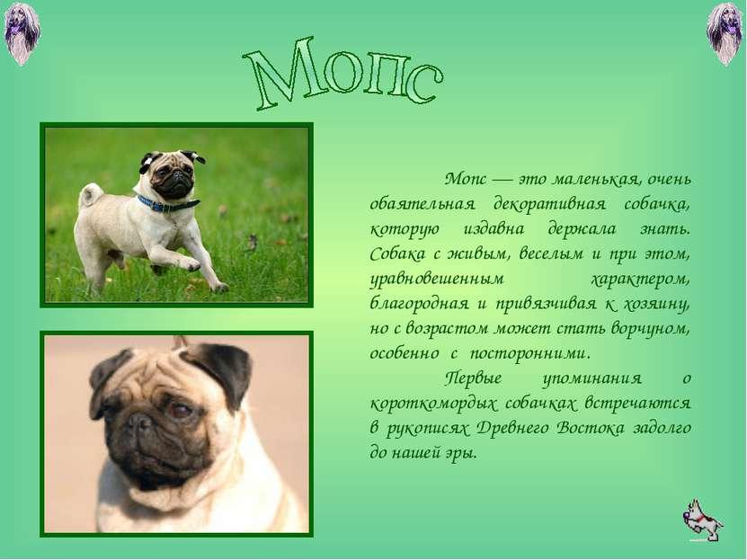 Мопс — это маленькая, очень обаятельная декоративная собачка, которую издавна...