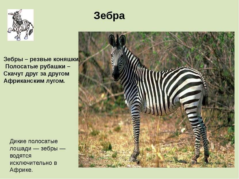 Дикие полосатые лошади — зебры — водятся исключительно в Африке. Зебра Зебры ...