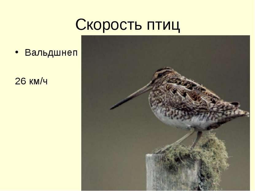 Скорость птиц Вальдшнеп 26 км/ч