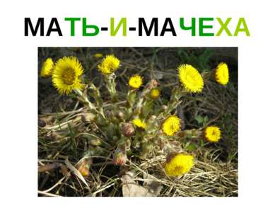 МАТЬ-И-МАЧЕХА