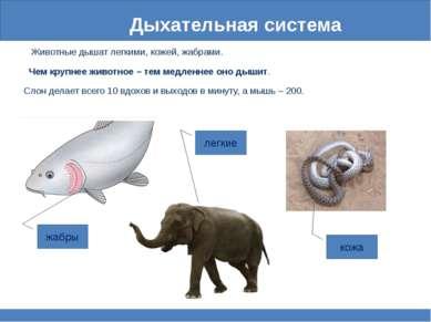 Дыхательная система Животные дышат легкими, кожей, жабрами. Чем крупнее живот...
