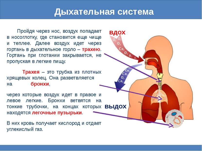 Дыхательная система Пройдя через нос, воздух попадает в носоглотку, где стано...