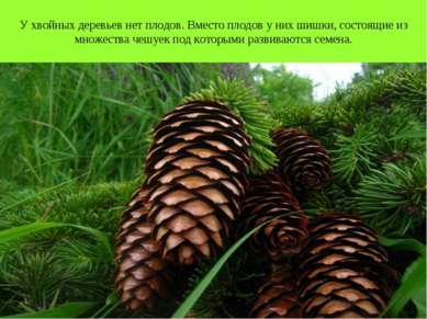 У хвойных деревьев нет плодов. Вместо плодов у них шишки, состоящие из множес...