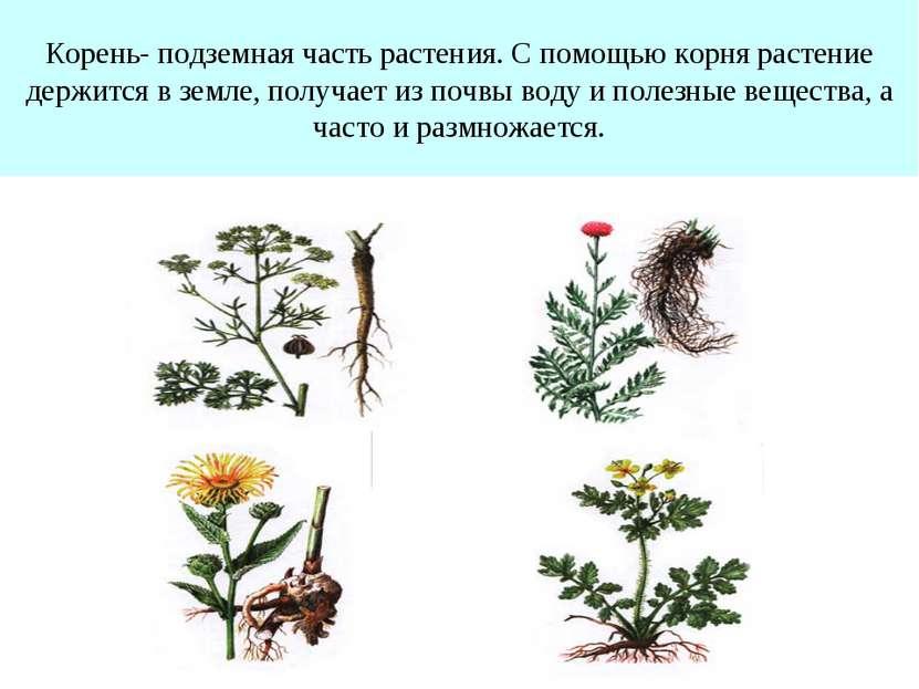 Корень- подземная часть растения. С помощью корня растение держится в земле, ...