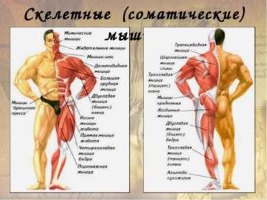 Основные поверхностные мышцы