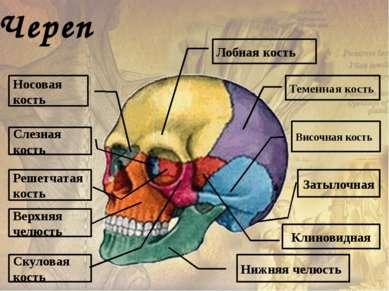 Истинные ребра Грудино-реберные суставы Хрящевые части ребер Ложные ребра Реб...