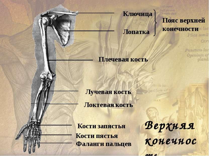 Тазовые кости Бедренные кости Большая берцовая кость Малая берцовая кость Пре...