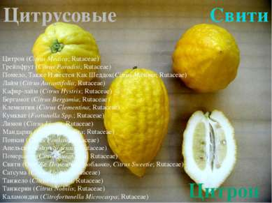 Цитрон Цитрон (Citrus Medica;Rutaceae) Грейпфрут(Citrus Paradisi;Rutaceae)...