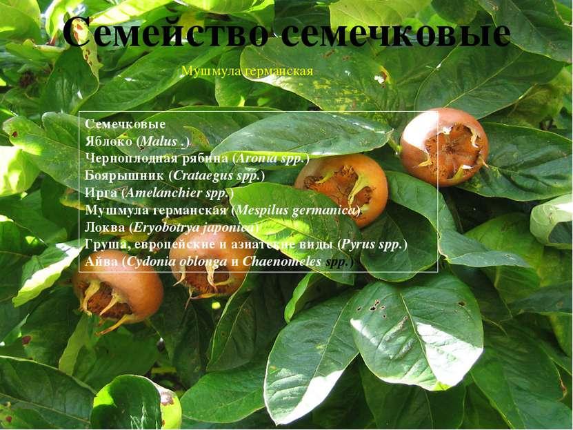 Авокадо(Аллигаторова груша) (Persea americana;Lauraceae) Азимина (Asimina tr...