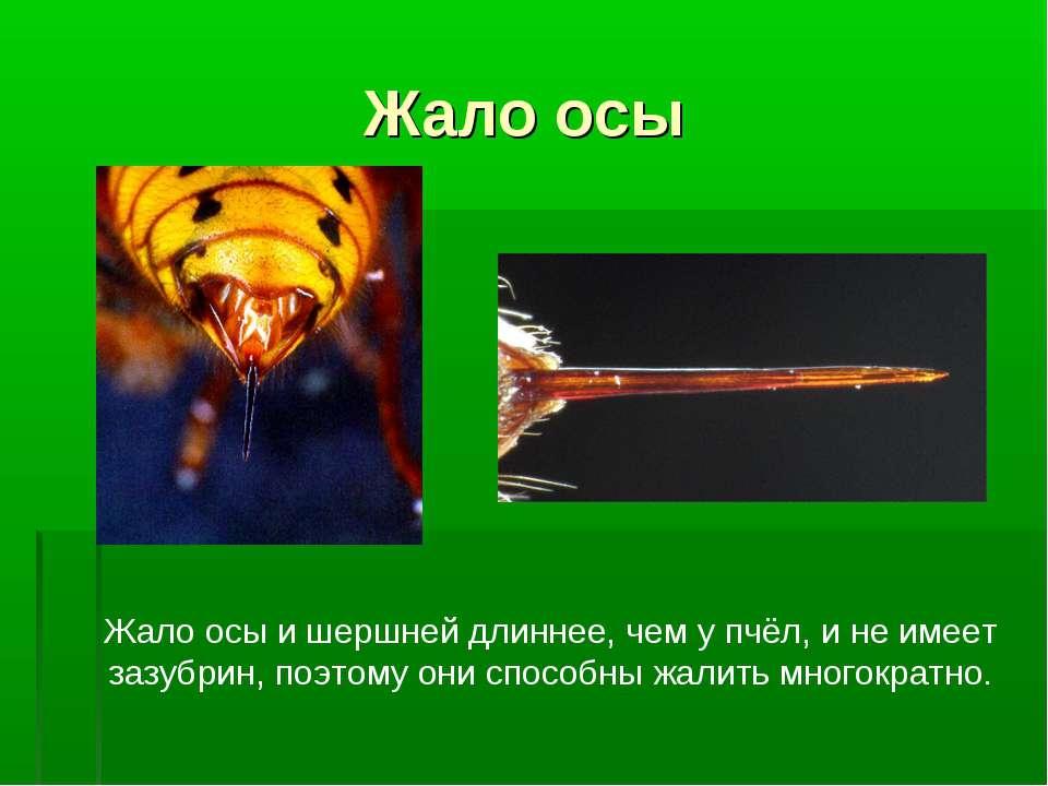 Жало осы Жало осы и шершней длиннее, чем у пчёл, и не имеет зазубрин, поэтому...