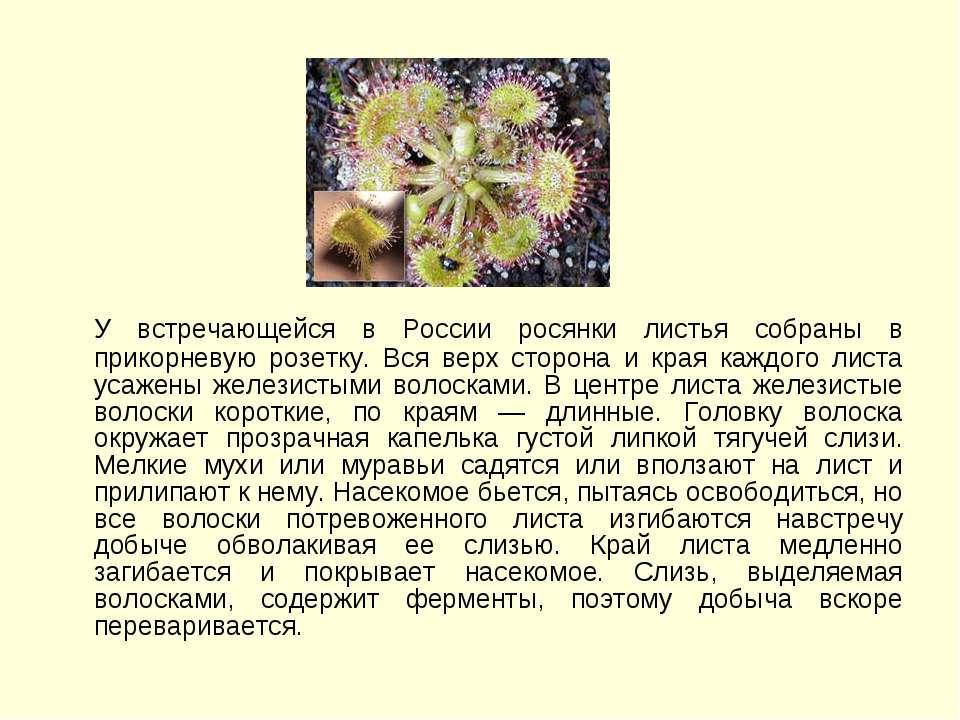 У встречающейся в России росянки листья собраны в прикорневую розетку. Вся ве...