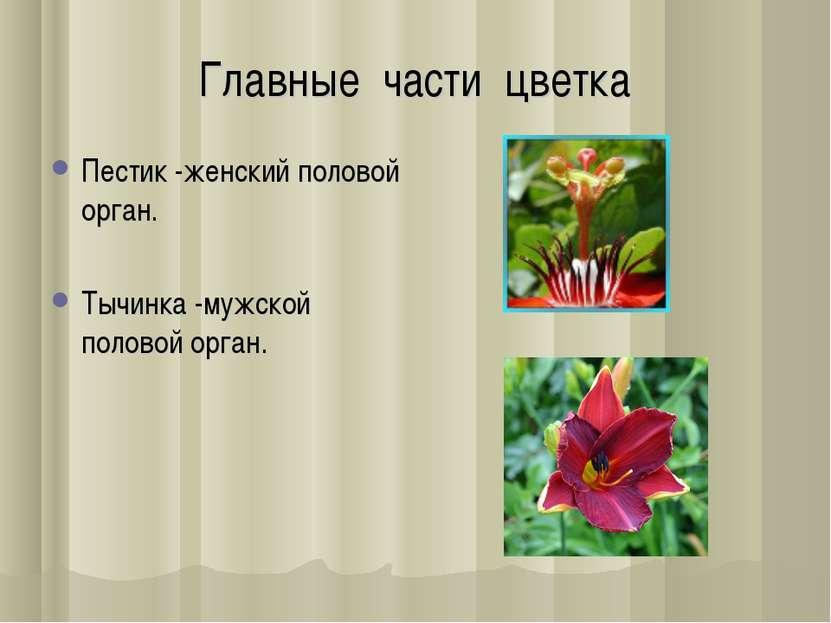 Главные части цветка Пестик -женский половой орган. Тычинка -мужской половой ...