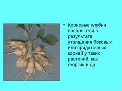 Корневые клубни появляются в результате утолщения боковых или придаточных кор...