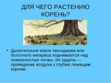 ДЛЯ ЧЕГО РАСТЕНИЮ КОРЕНЬ? Дыхательные корни таксодиума или болотного кипариса...