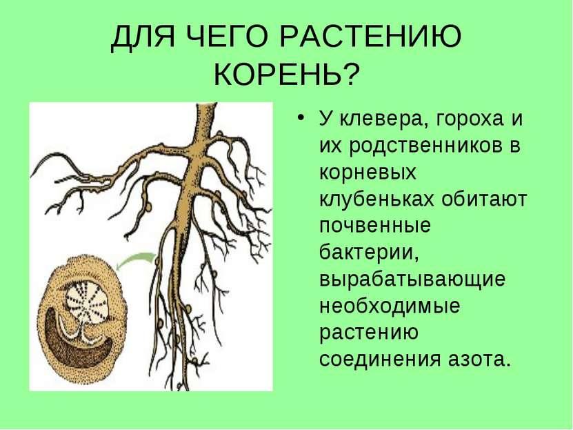 ДЛЯ ЧЕГО РАСТЕНИЮ КОРЕНЬ? У клевера, гороха и их родственников в корневых клу...