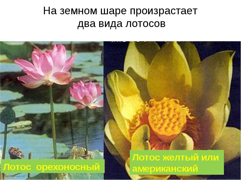 На земном шаре произрастает два вида лотосов Лотос орехоносный Лотос желтый и...