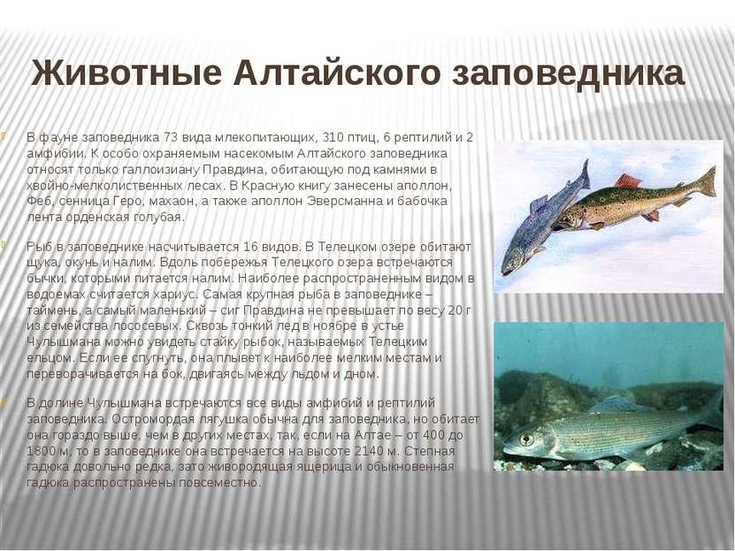 Животные Алтайского заповедника В фауне заповедника 73 вида млекопитающих, 31...