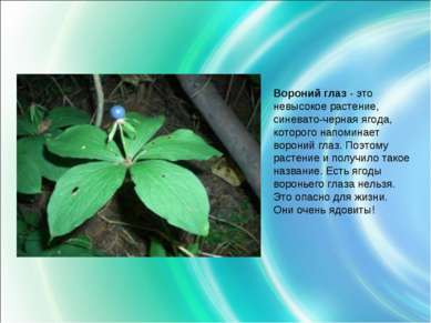 Вороний глаз - это невысокое растение, синевато-черная ягода, которого напоми...