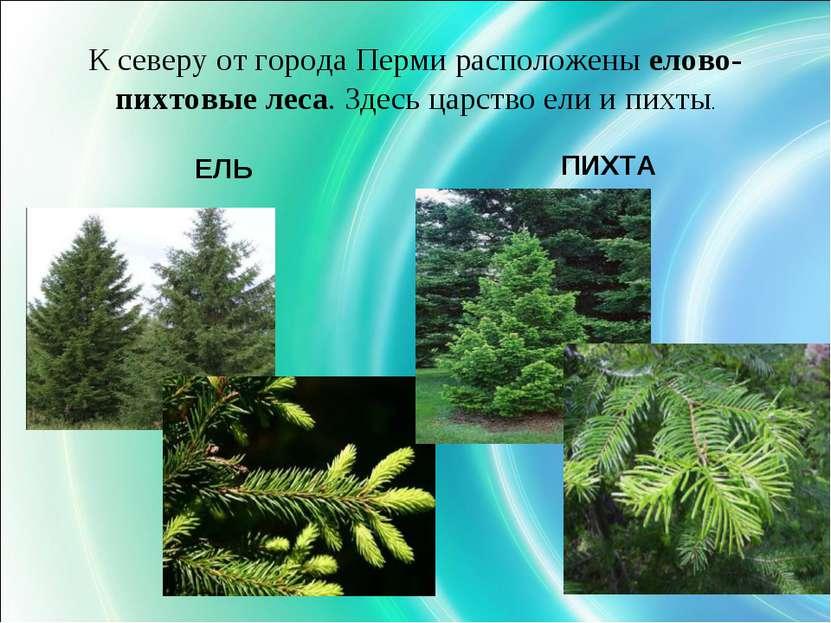 К северу от города Перми расположены елово-пихтовые леса. Здесь царство ели и...