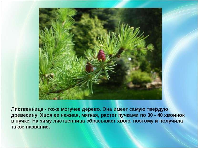 Лиственница - тоже могучее дерево. Она имеет самую твердую древесину. Хвояее...