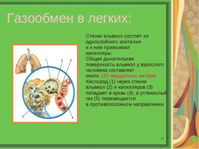 * Газообмен в легких: Стенки альвеол состоят из однослойного эпителия и к ним...