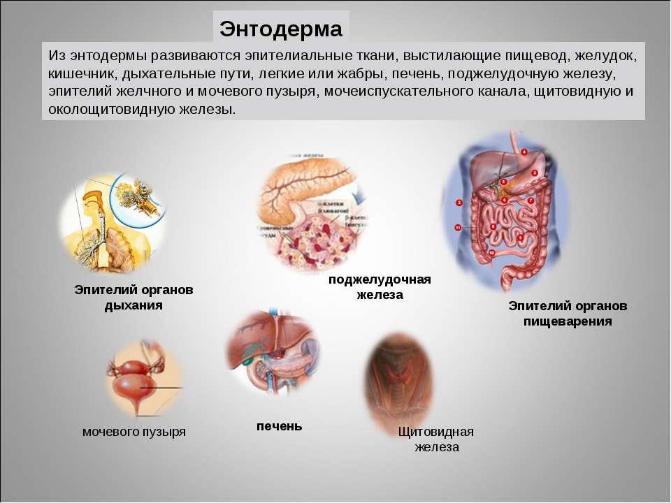 Энтодерма Эпителий органов дыхания Эпителий органов пищеварения печень поджел...