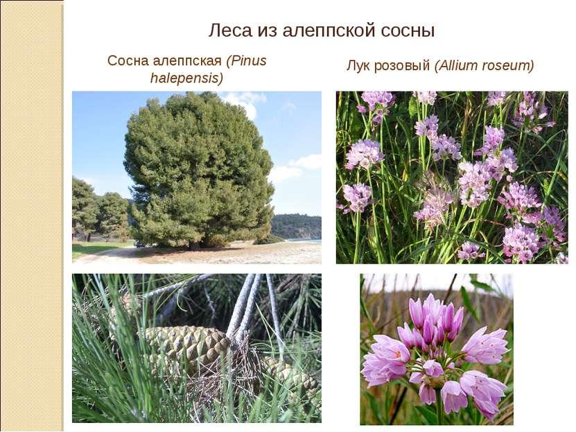Леса из алеппской сосны Сосна алеппская (Pinus halepensis) Лук розовый (Alliu...