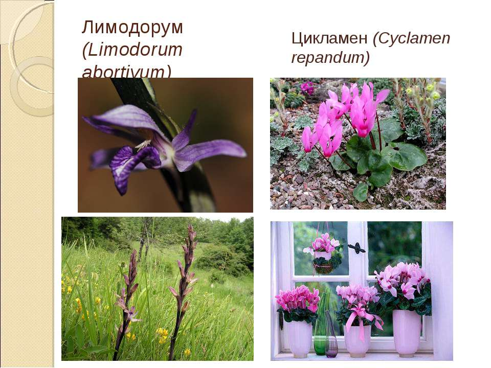 Лимодорум (Limodorum abortivum) Цикламен (Cyclamen repandum)