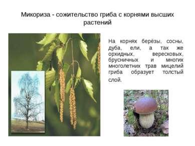 Микориза - сожительство гриба с корнями высших растений На корнях берёзы, сос...