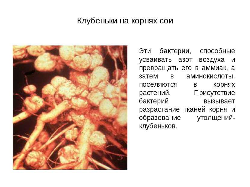 Клубеньки на корнях сои Эти бактерии, способные усваивать азот воздуха и прев...