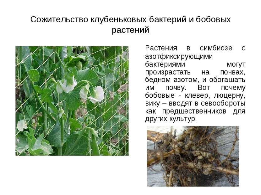 Сожительство клубеньковых бактерий и бобовых растений Растения в симбиозе с а...