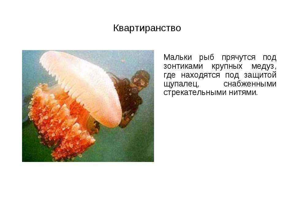 Квартиранство Мальки рыб прячутся под зонтиками крупных медуз, где находятся ...