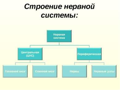 Строение нервной системы: