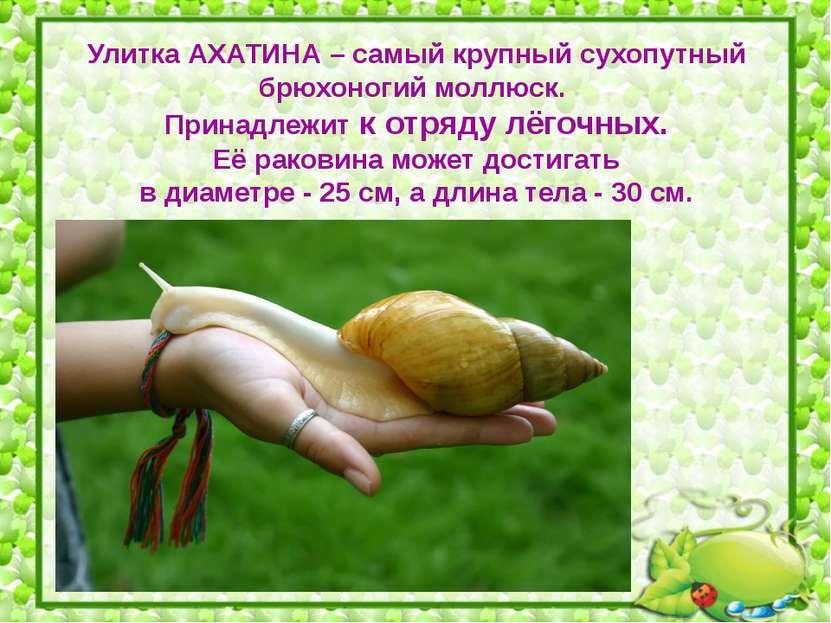 Улитка АХАТИНА – самый крупный сухопутный брюхоногий моллюск. Принадлежит к о...